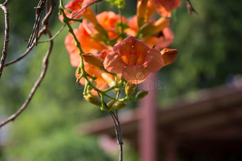 Flores alaranjadas recentemente florescidas fotos de stock royalty free
