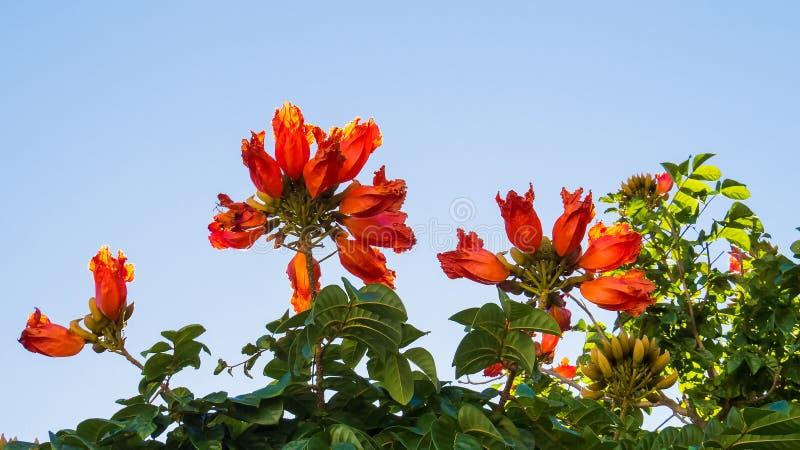 Flores alaranjadas sobre uma árvore grande imagem de stock