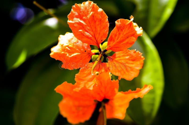 Flores alaranjadas vermelhas do hibiscus na luz solar imagem de stock royalty free