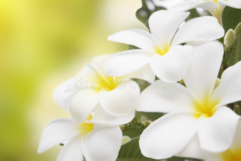 Flores alba del Plumeria fotos de archivo