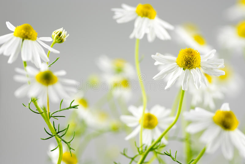 Flores alemãs da camomila imagens de stock royalty free