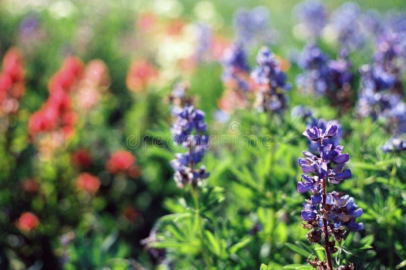 Flores alpestres imagen de archivo