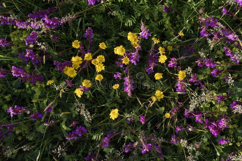 Flores alpestres fotos de archivo libres de regalías