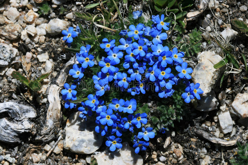 Flores alpestres azules fotografía de archivo