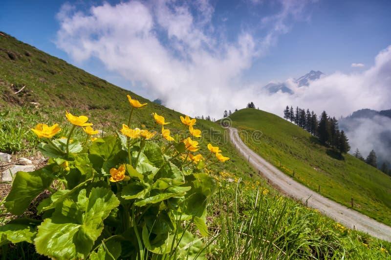 Flores alpinas brilhantes no prado em cumes suíços imagens de stock royalty free