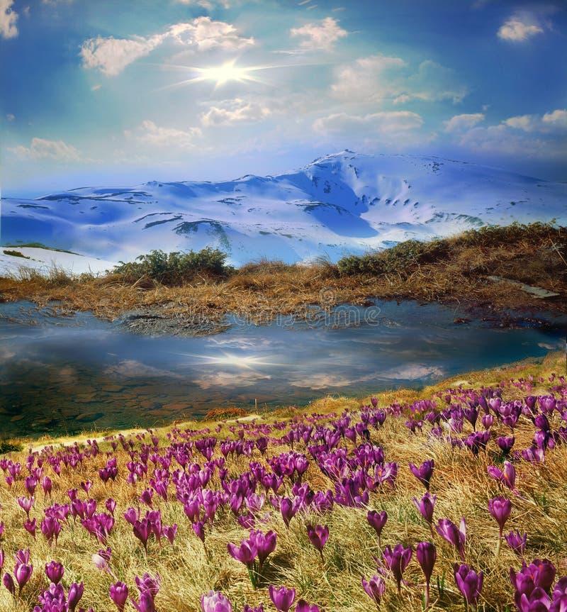 Flores alpinas hermosas foto de archivo libre de regalías