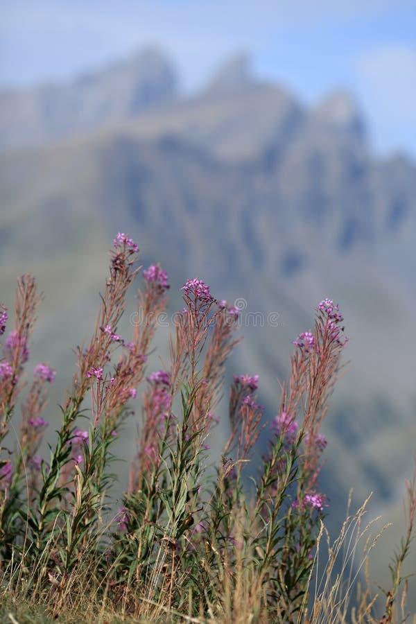 Flores alpinas selvagens foto de stock royalty free
