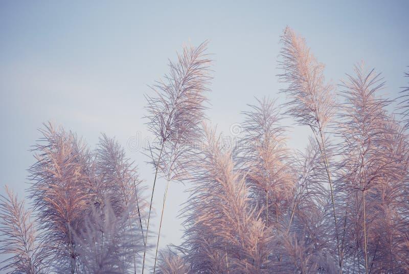 Flores altas iluminadas de la hierba en luz del sol de igualación de oro imagenes de archivo