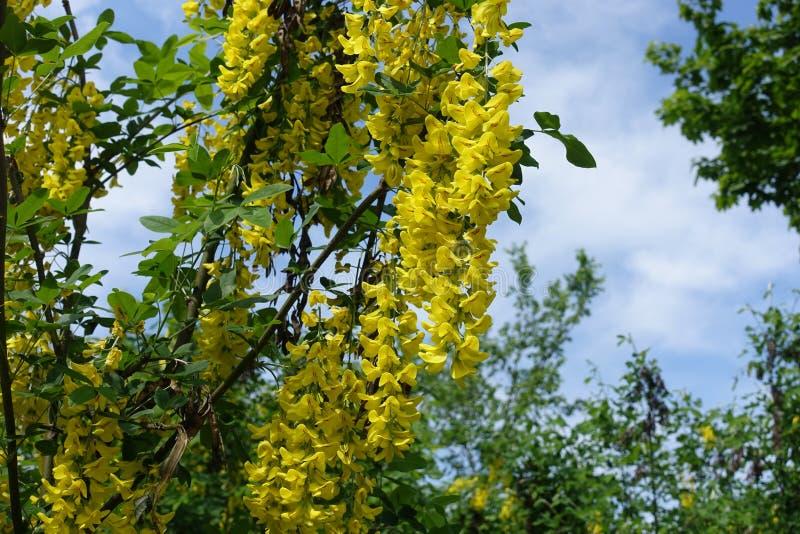 Flores amarelas âmbar de Laburnum anagyroides contra o céu azul fotos de stock royalty free