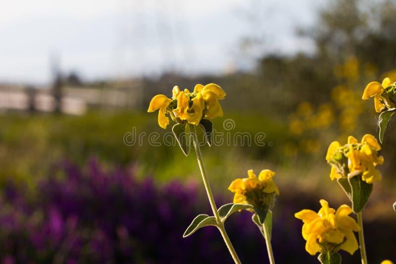 Flores amarelas bonitas com um fundo de flores roxas imagens de stock royalty free