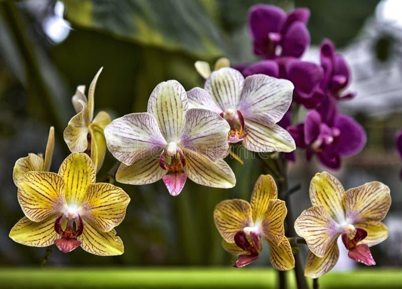 Flores amarelas bonitas da orquídea do Phalaenopsis com natural fotos de stock