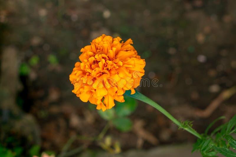 Flores amarelas bonitas do cravo-de-defunto que bloming no jardim imagem de stock