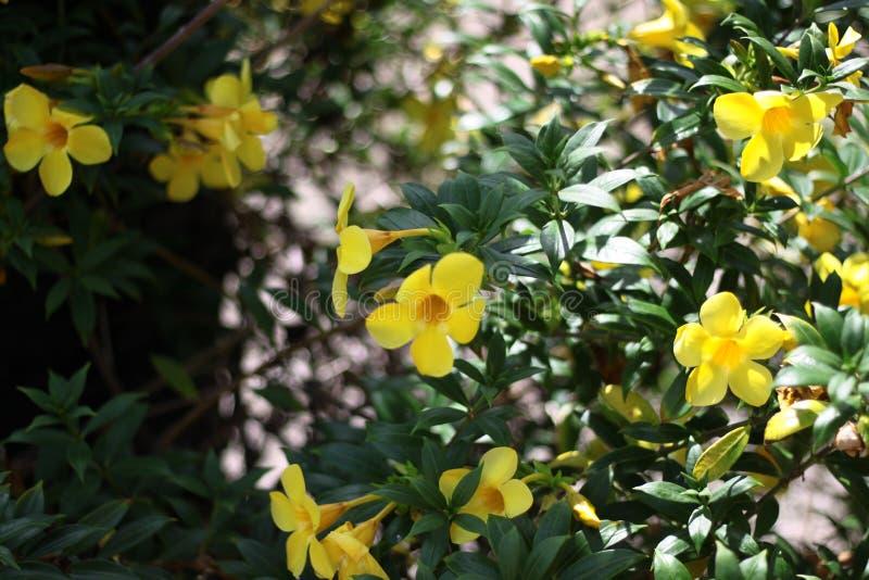 Flores amarelas bonitas em Tailândia foto de stock royalty free