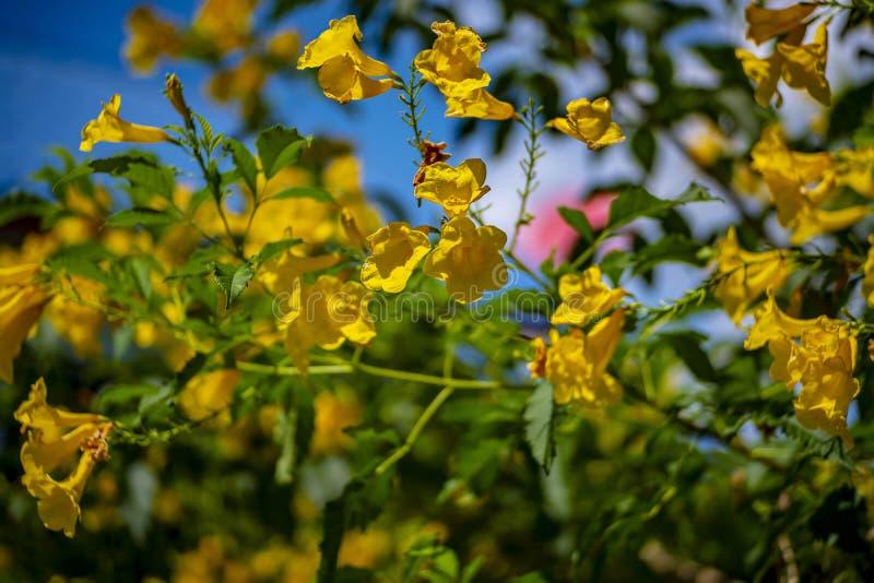 Flores amarelas bonitas, flor bonita do ouro imagens de stock