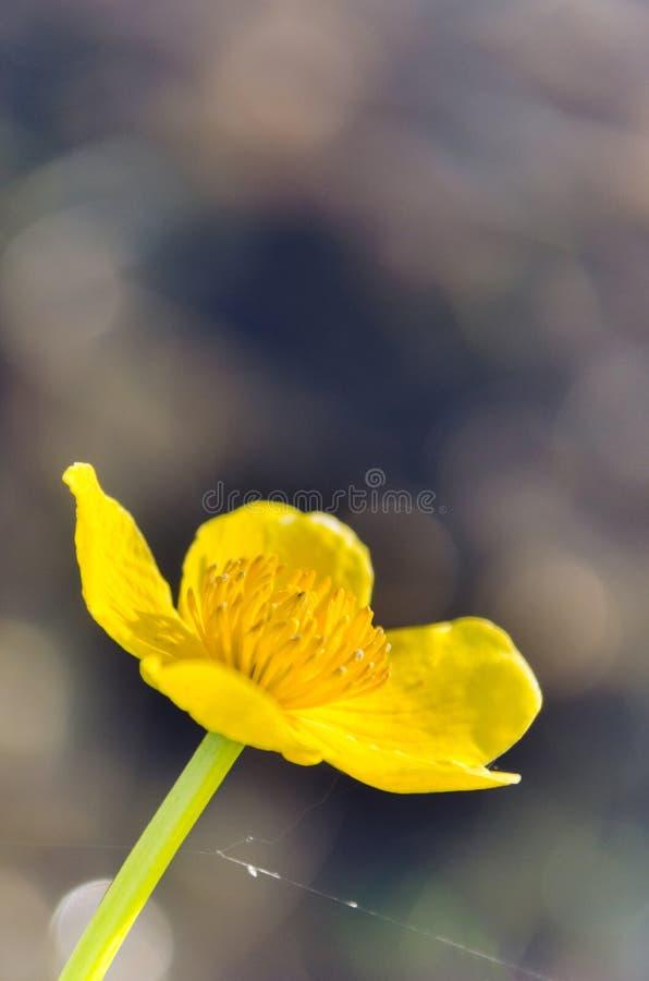 Flores amarelas brilhantes do Caltha no fim verde do fundo das folhas acima Palustris do Caltha, conhecidos como o p?ntano-cravo- imagem de stock royalty free