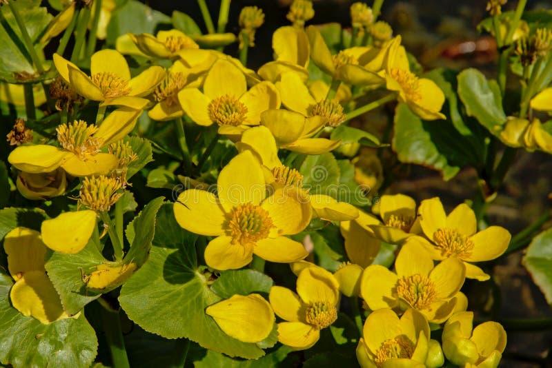 Flores amarelas brilhantes do pântano-cravo-de-defunto ou do kingcup, fim acima foto de stock royalty free