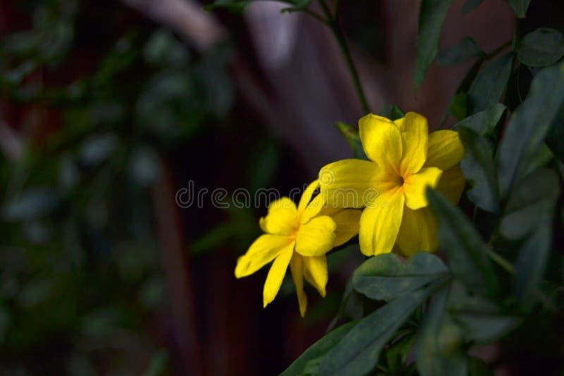 Flores amarelas brilhantes na noite imagens de stock royalty free