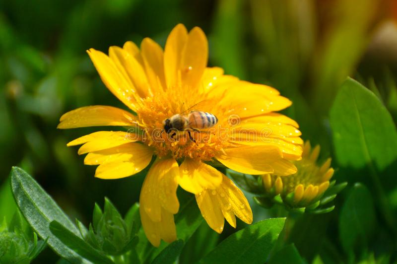 Flores amarelas com as abelhas misturadas com o fundo verde das flores do gás imagens de stock royalty free