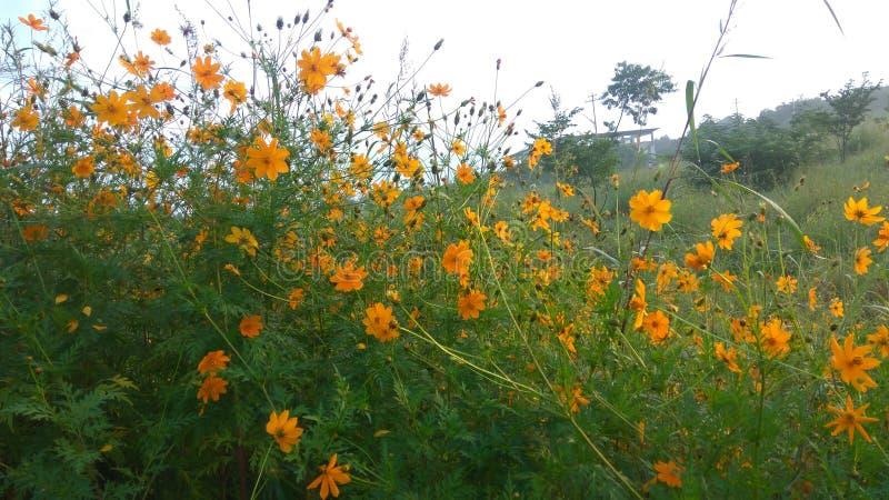 Flores amarelas com folha verde foto de stock royalty free