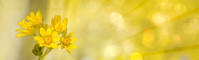 Flores amarelas com raios de luz radiais e boques fotos de stock royalty free