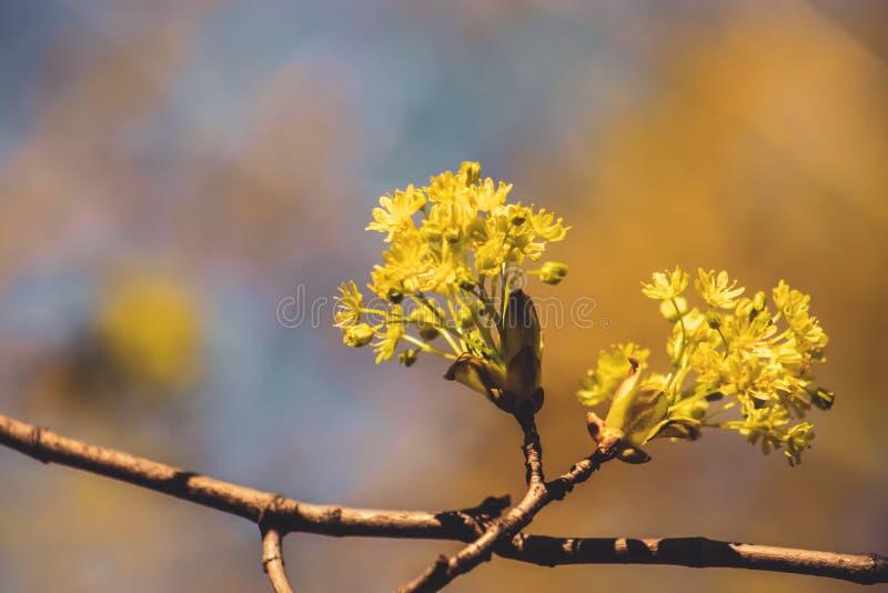 Flores amarelas da árvore de bordo fotos de stock