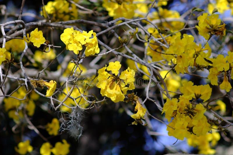 Flores amarelas da árvore de Tabebuia fotografia de stock