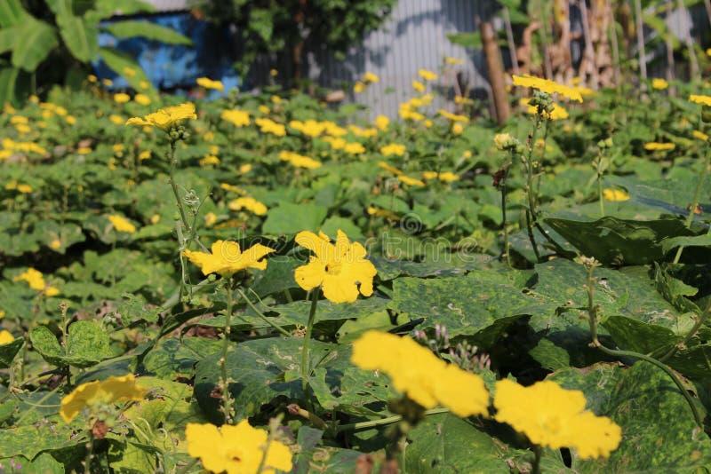 Flores amarelas da abóbora imagem de stock