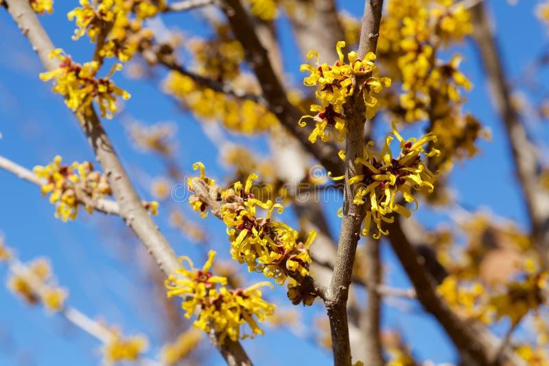 Flores amarelas da avelã de bruxa da flor na mola adiantada imagem de stock royalty free