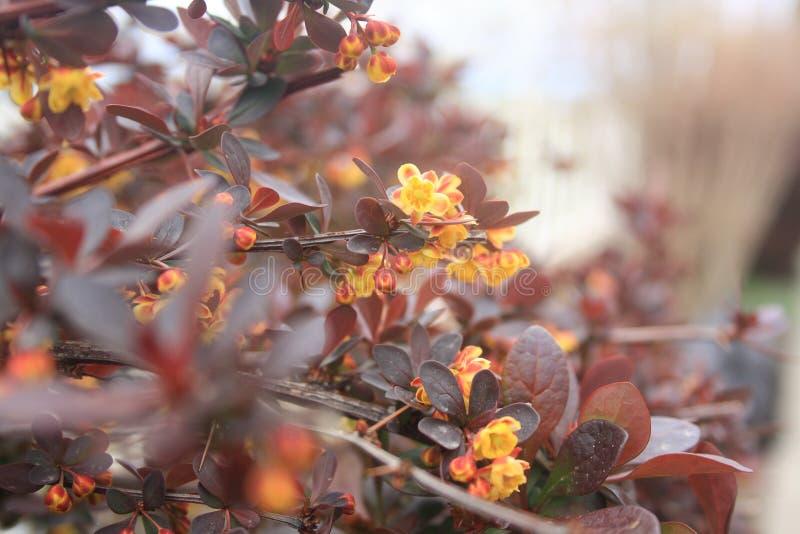 Flores amarelas da bérberis roxa Flor da mola Close up do ramo com flores imagens de stock