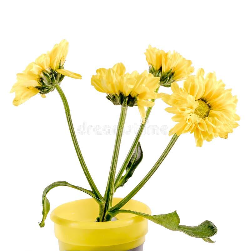 Flores amarelas da dália, fim acima imagem de stock royalty free