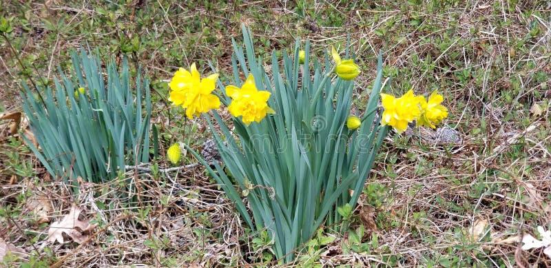 Flores amarelas da mola fotografia de stock