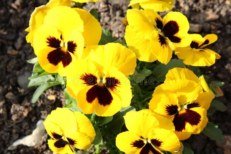 Flores amarelas da mola em um jardim fotografia de stock