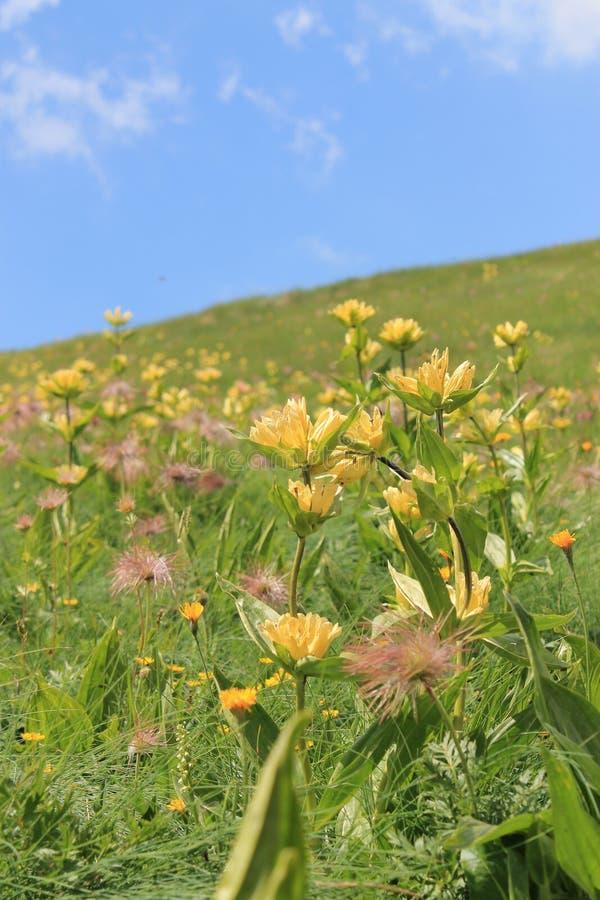 Flores amarelas da montanha no trentino fotos de stock royalty free