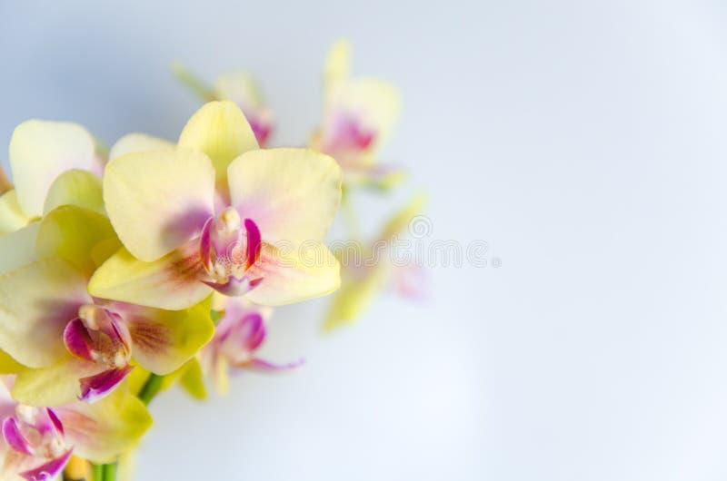 - Flores amarelas da orquídea em claro - fundo azul claro fotografia de stock royalty free