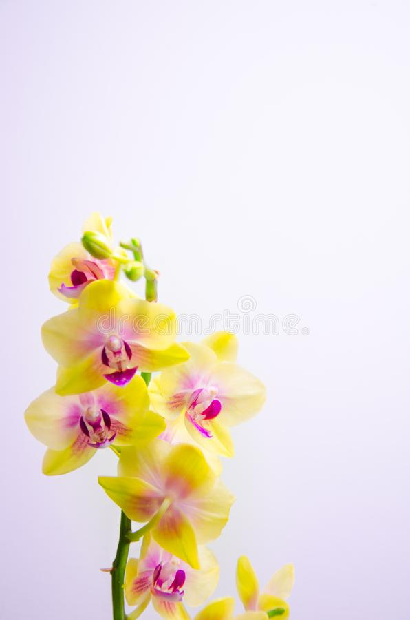 Flores amarelas da orquídea em claro - fundo azul fotos de stock