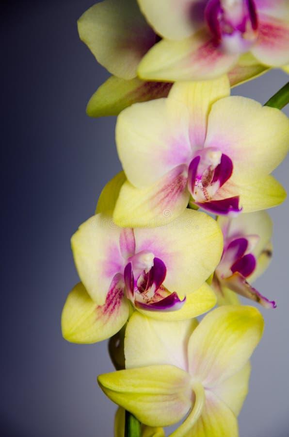 - Flores amarelas da orquídea em escuro - fundo azul claro imagens de stock