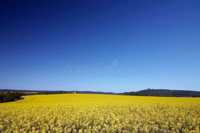 Flores amarelas da semente do cole fotografia de stock royalty free
