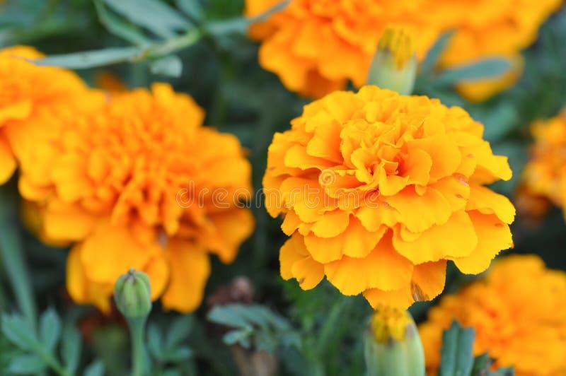 Flores amarelas de Chrisanthemum imagem de stock