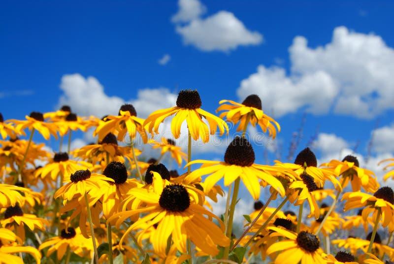 Flores amarelas de encontro ao céu fotografia de stock royalty free