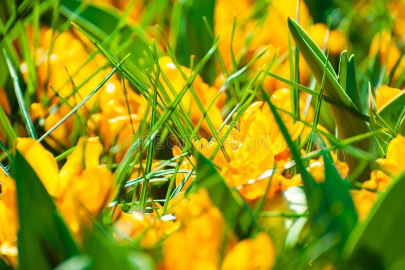 Flores amarelas de florescência do açafrão na mola fotografia de stock royalty free