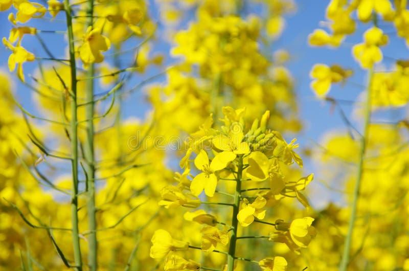 Flores amarelas de florescência do canola fotos de stock
