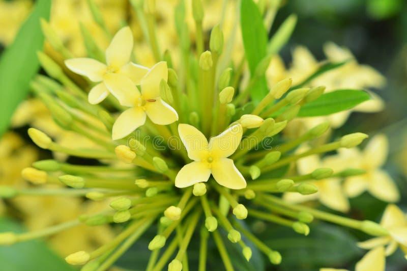 Flores amarelas de Ixora imagens de stock royalty free
