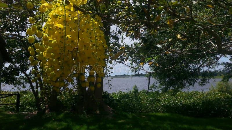 Flores amarelas de uma árvore foto de stock royalty free