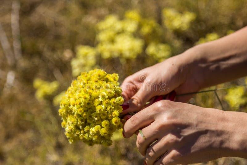 Flores amarelas do arenarium do helichrysum ou do everlast do anão fotografia de stock royalty free