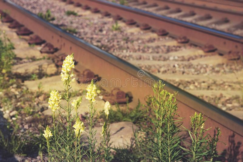 Flores amarelas do boca-de-lobo no fundo oxidado da estrada de ferro fotos de stock