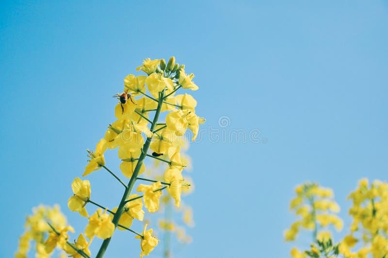 Flores amarelas do cole na mola, com uma abelha fotografia de stock