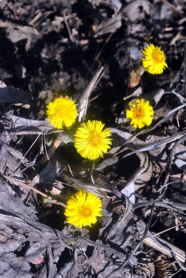Flores amarelas do coltsfoot que florescem no fundo à terra preto, dia de mola ensolarado na madeira imagens de stock royalty free