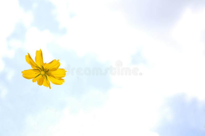 Flores amarelas do cosmos fotografia de stock royalty free