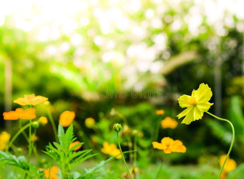 Flores amarelas do cosmos imagens de stock
