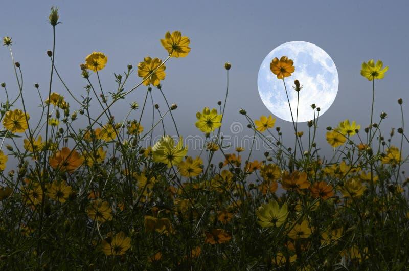 Flores amarelas do cosmos e Lua cheia branca imagens de stock